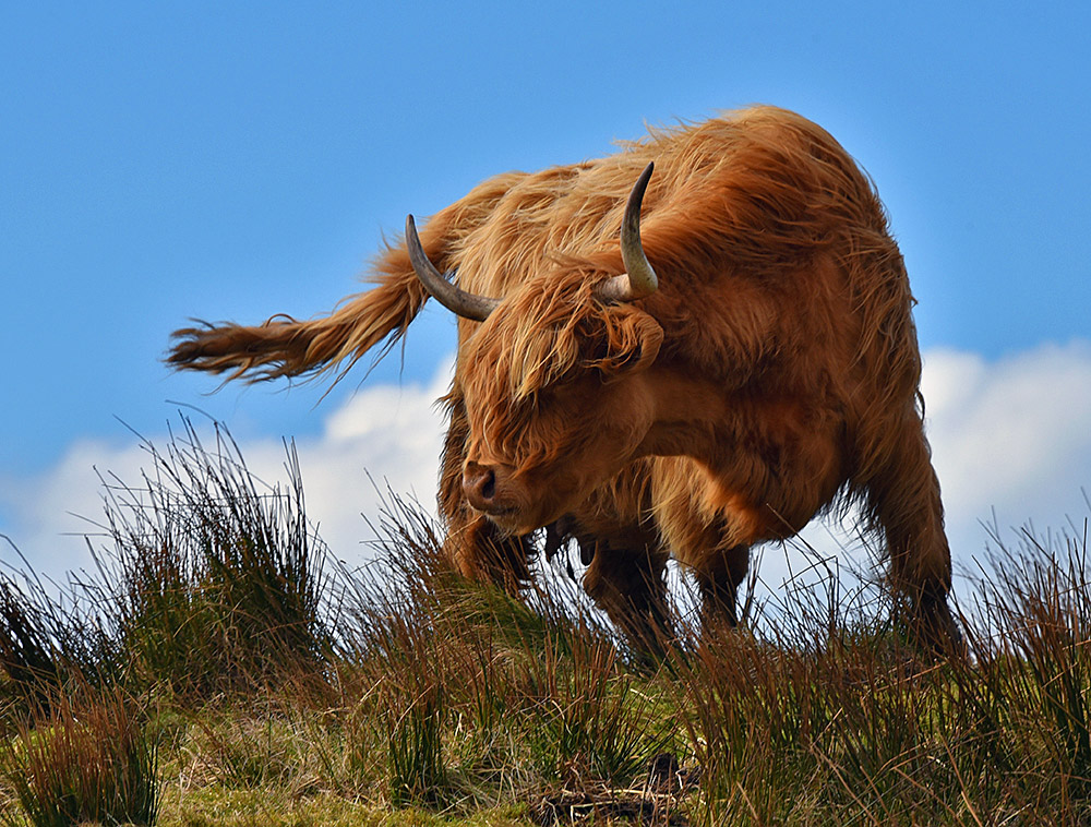 Picture of a highland cow on a ridge on a windy day