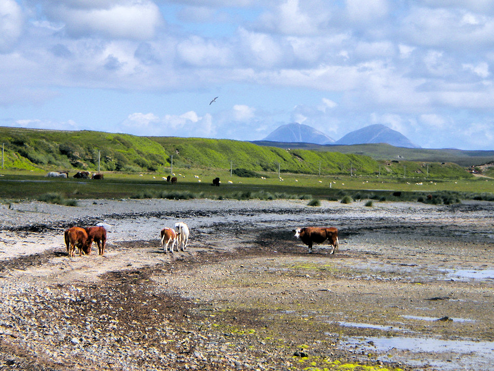 Picture of cattle walking along a stony beach