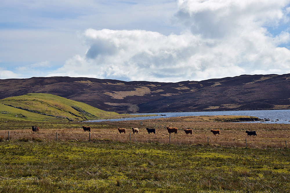 Picture of a herd of Highland cattle lining up near a loch (lake)