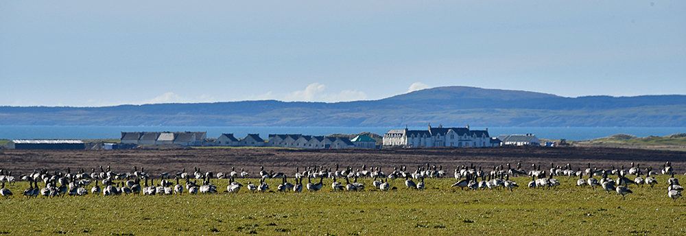 Picture of Barnacle Geese grazing in a field, a country hotel and golf course in the distance in the background