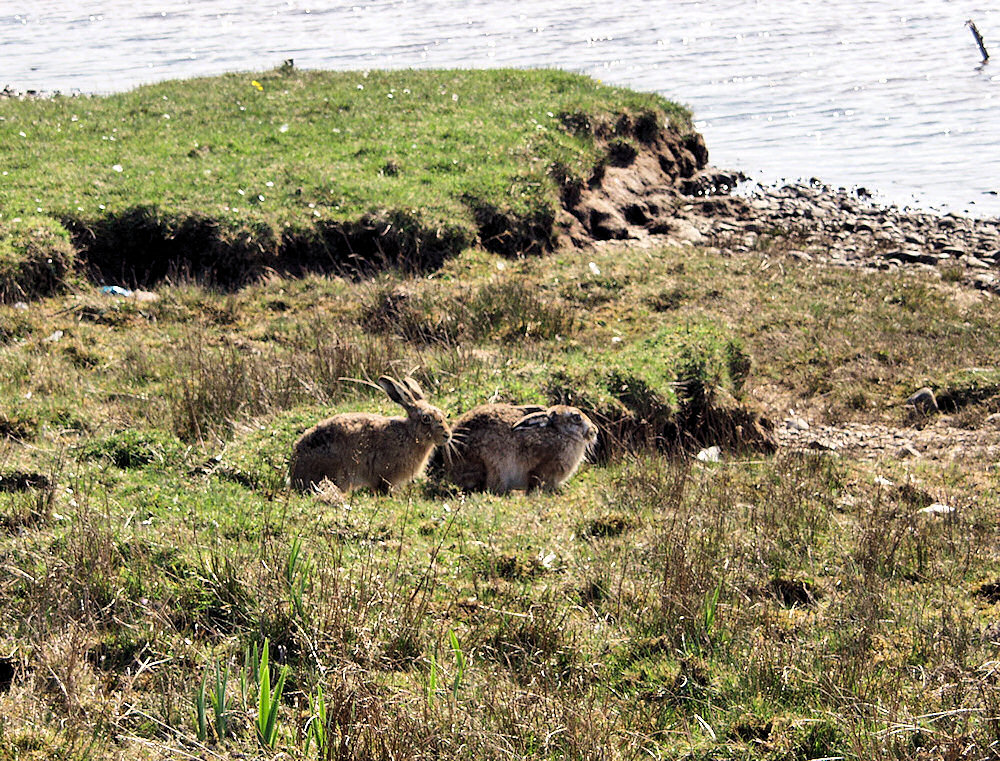 Picture of two Hares sitting next to a loch (lake)