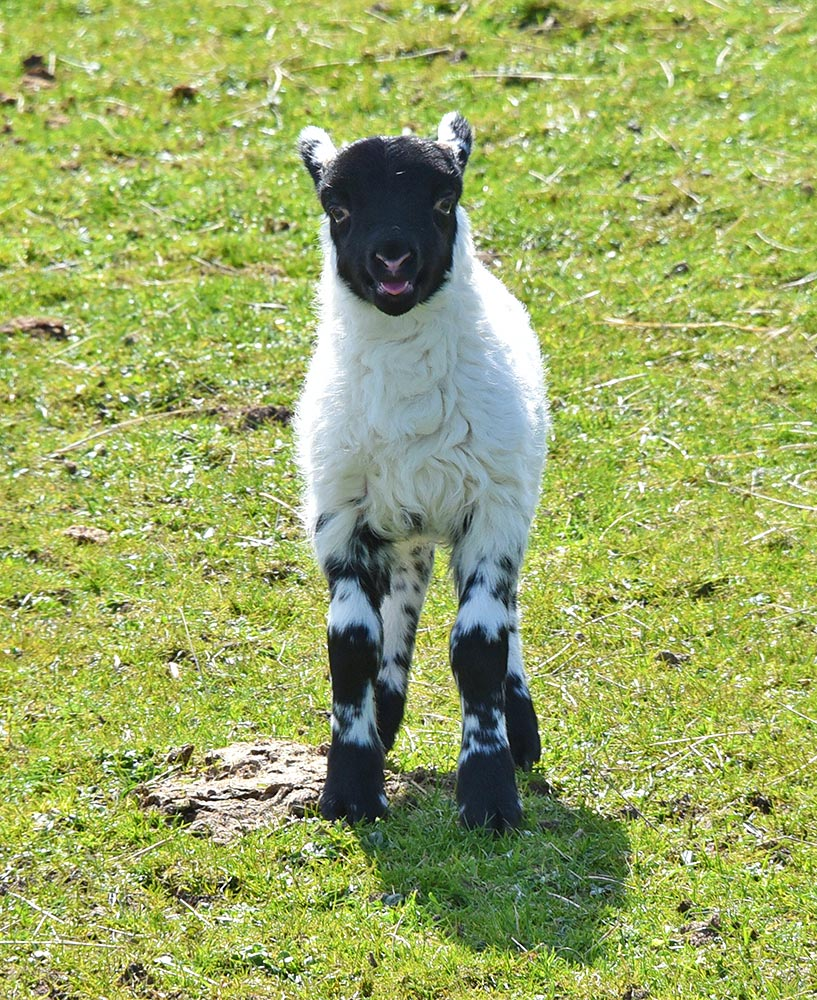 Picture of a young Blackface lamb in the sun