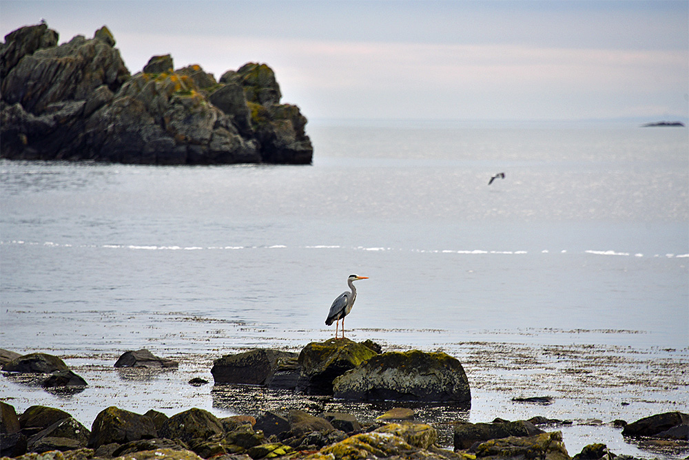 Picture of a Heron standing on stones at a shore