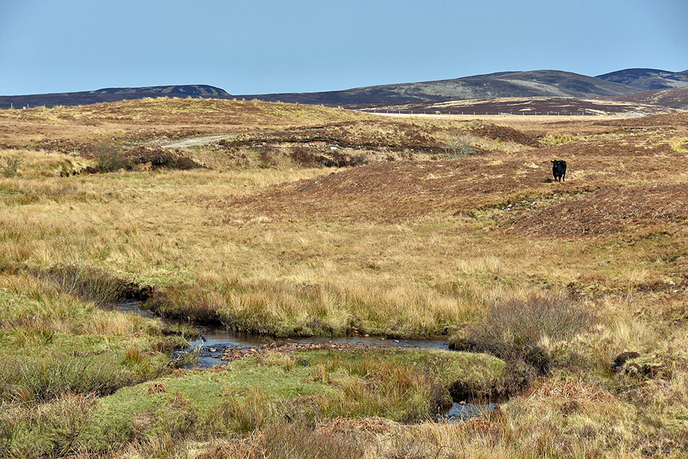 Picture of a lone cow in a rugged landscape