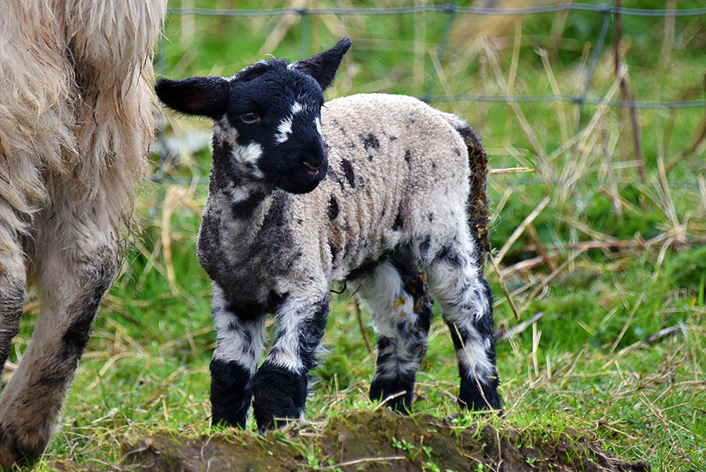 Picture of a young lamb