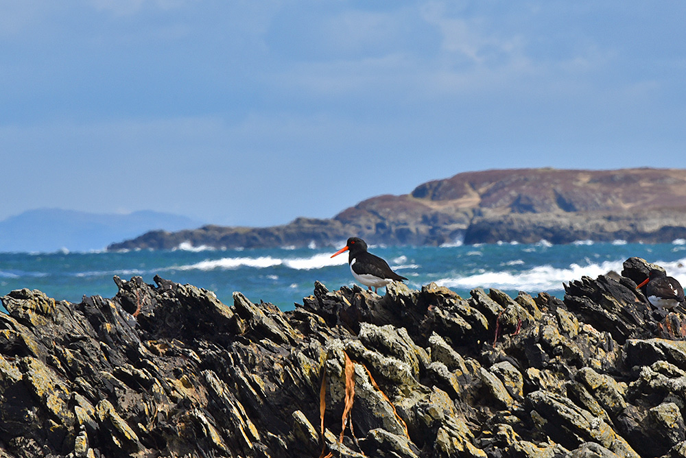 Picture of an Oystercatcher on top of low cliffs, a second Oystercatcher on the edge of the picture