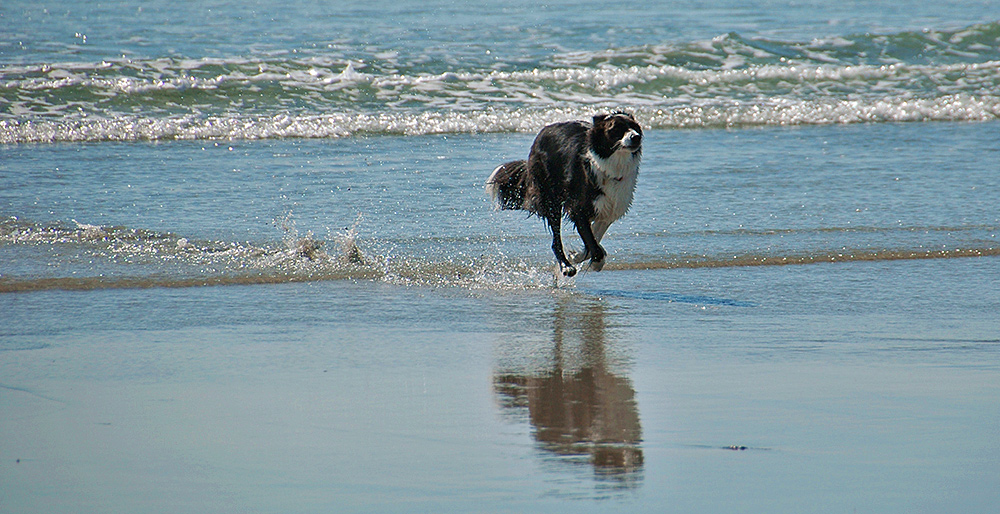 Picture of a Border Collie running through shallow water on a beach