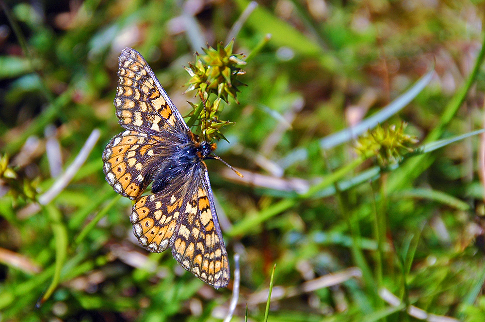 Picture of a Marsh Fritillary butterfly