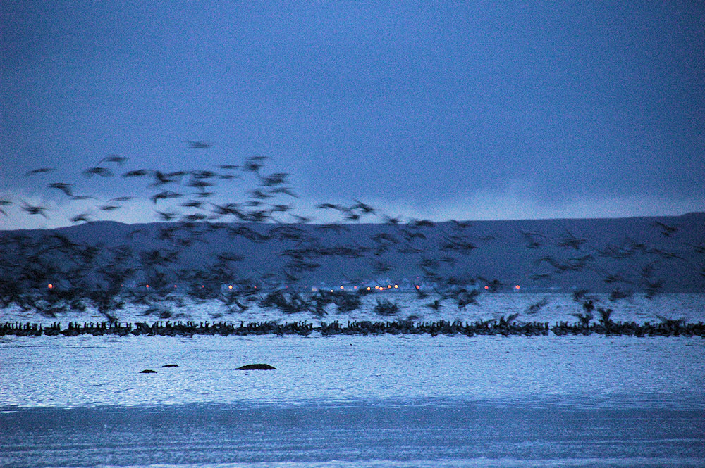 Picture of Barnacle Geese coming in for the roost at last light