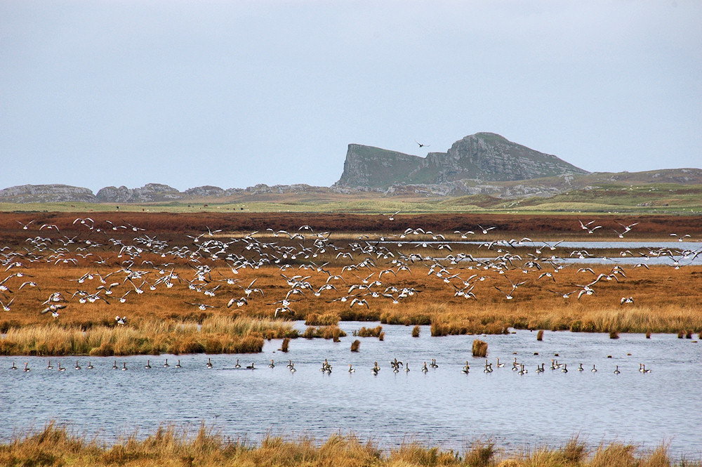 Picture of geese on and flying above a small loch with a rock formation in the background