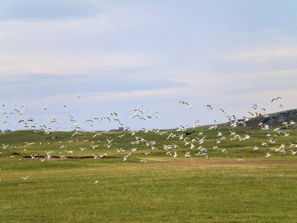 Picture of a single dark bird (probably a raptor) among a flock of gull