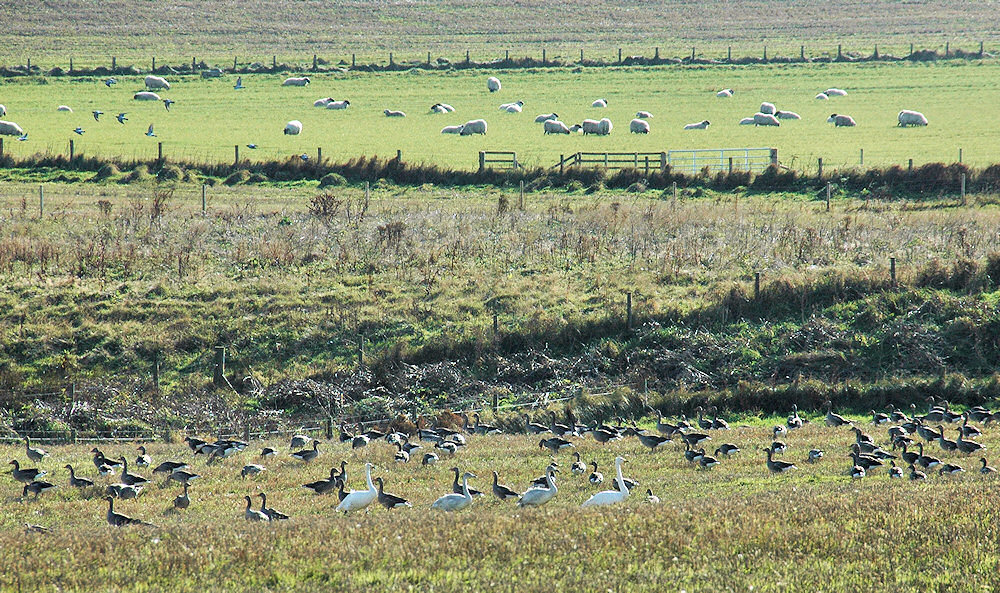 Picture of Whooper Swans, Geese and Sheep in various fields