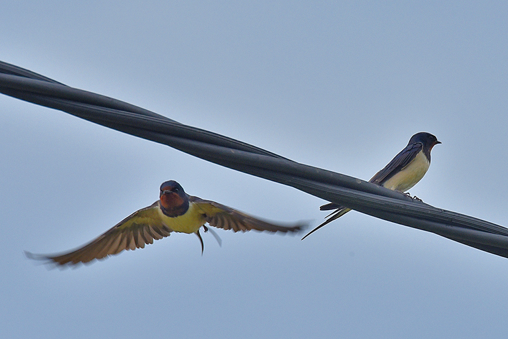 Picture of two Swallows, one in flight, the other sitting on a wire
