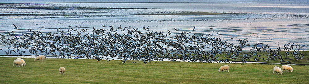 Picture of a few sheep and a large flock of Barnacle Geese on a field at a shore