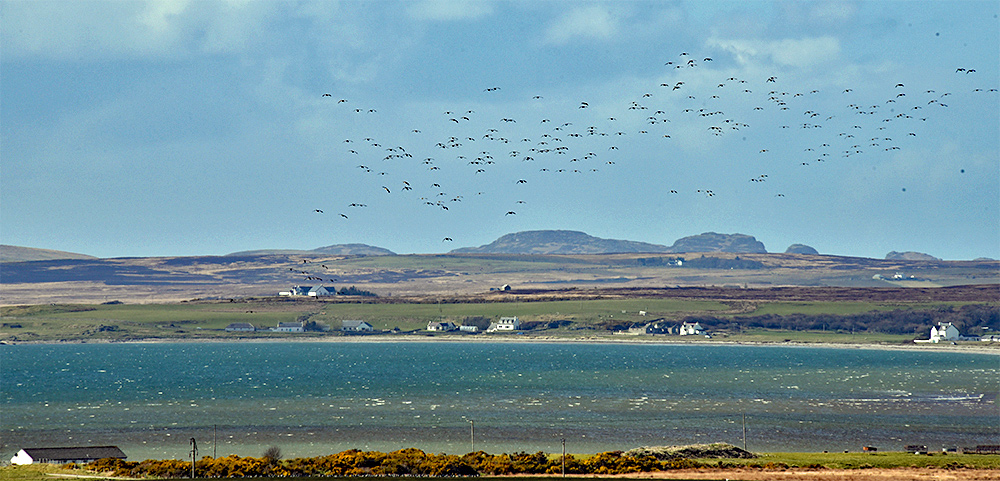 Picture of a flock of Barnacle Geese over a small coastal settlement