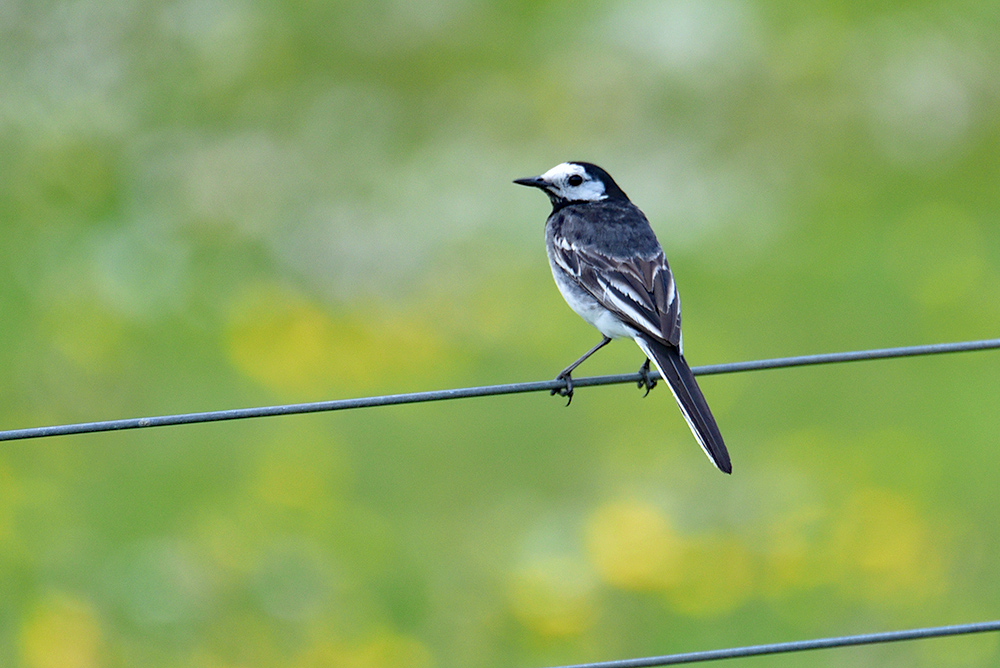 Picture of a Pied Wagtail on the wire of a fence, colourful Machair in the background