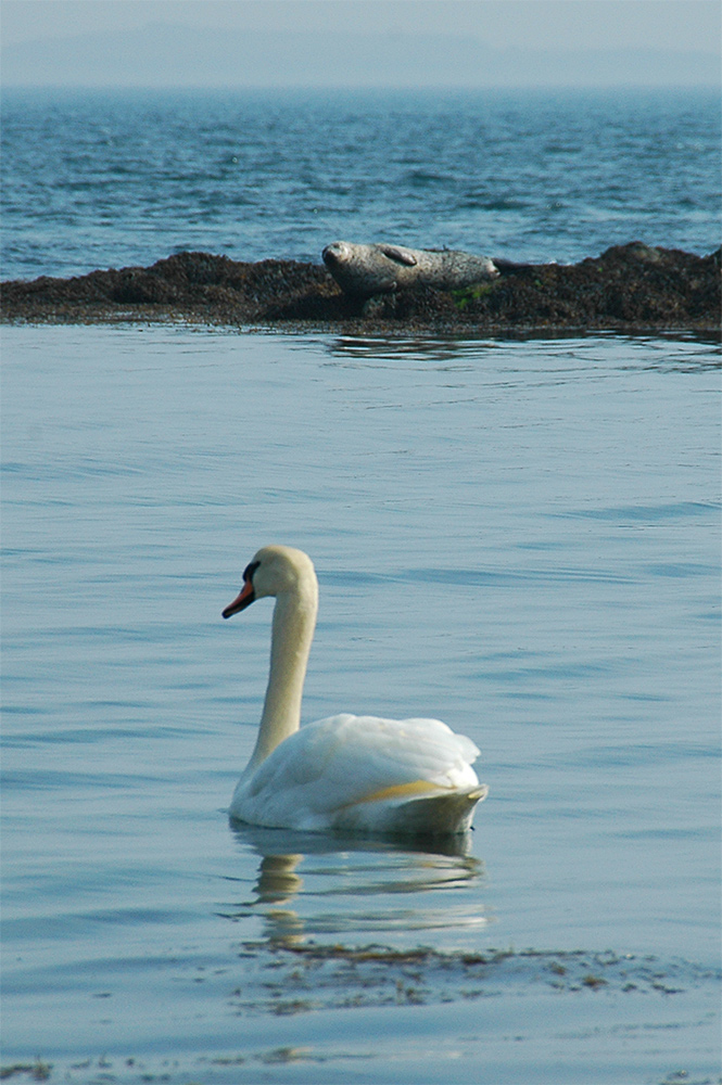 Picture of a Mute Swan and a Seal near a shore