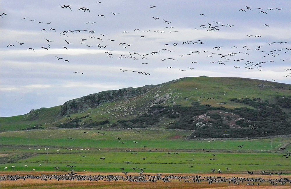 Picture of Barnacle Geese sitting below and flying above a small hill