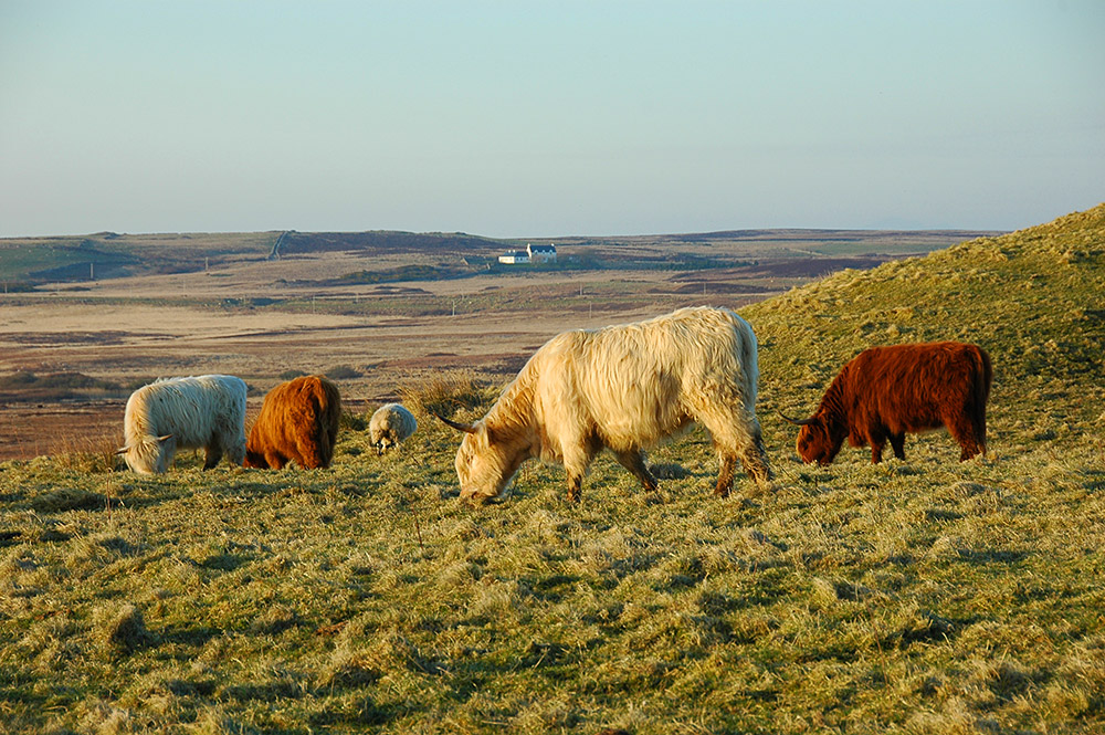 Picture of 4 Highland cattle and a sheep grazing on a field in the evening light