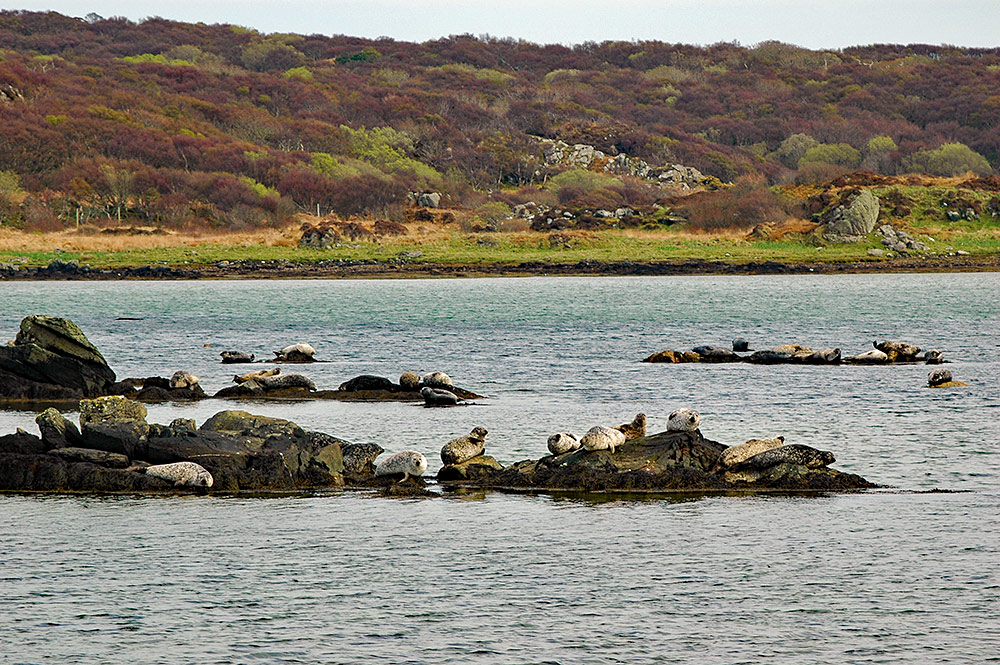 Picture of a large number of seals sunning on rocks in a sea loch