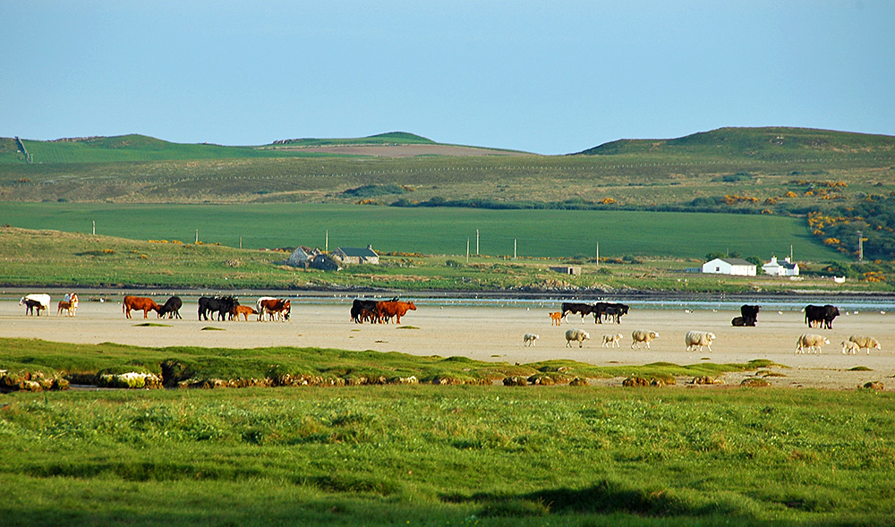 Picture of a large number of cattle and sheep on a beach at low tide