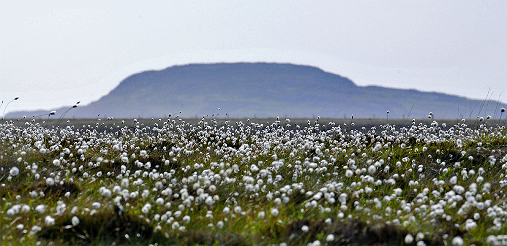 Picture of moorland covered in Cotton Grass