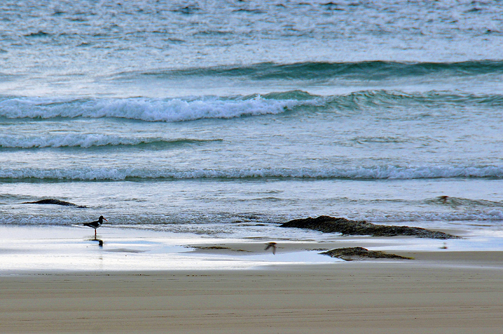 Picture of an Oystercatcher standing on a beach close to the waterline, two other birds flying past