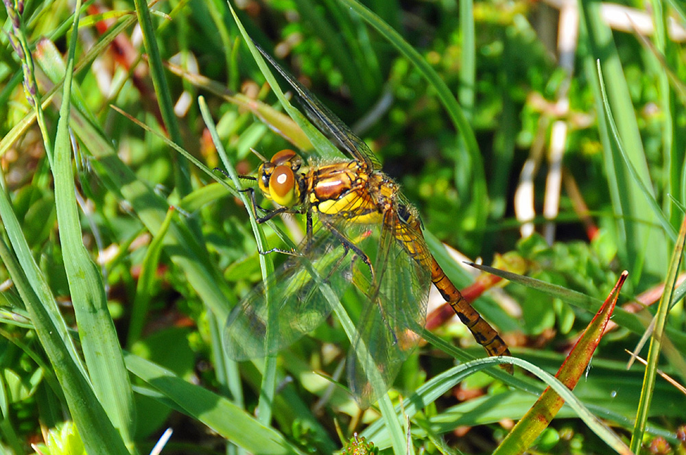 Picture of a yellow Dragonfly in high grass (machair)