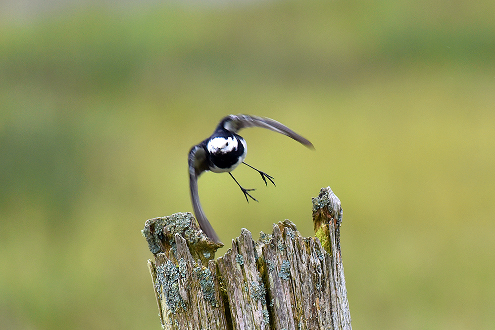 Picture of a Pied Wagtail flying off an old fence post