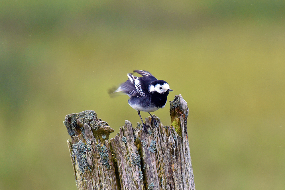 Picture of a Pied Wagtail on an old post, about to fly off