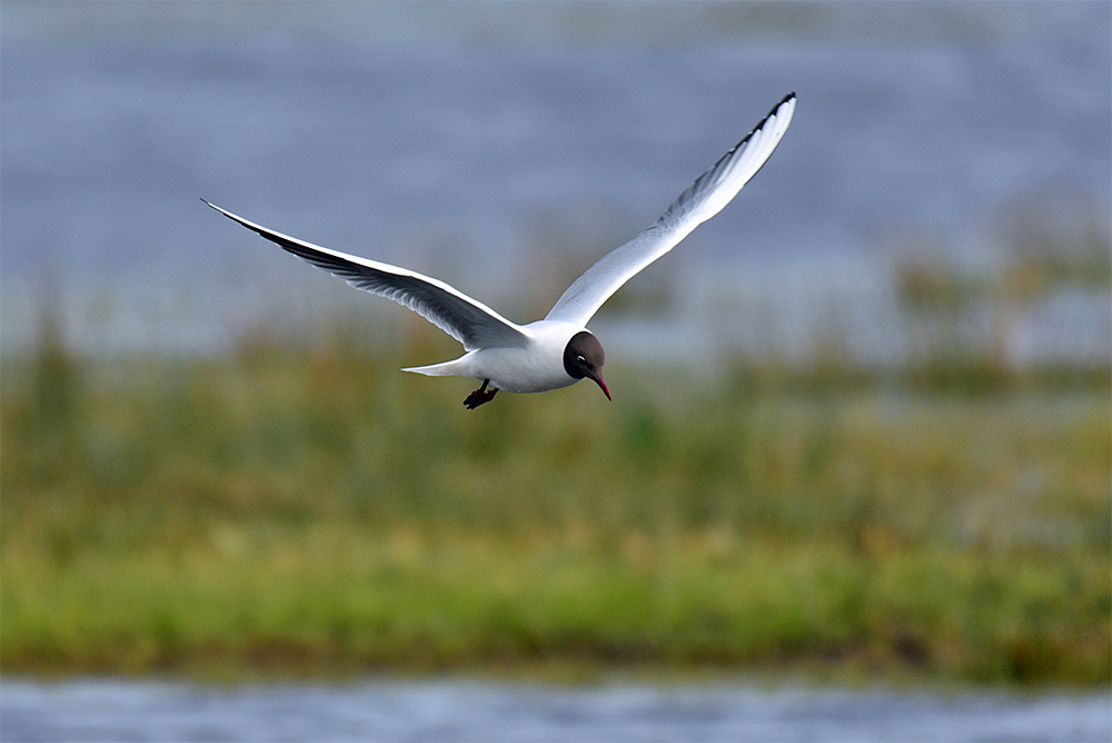 Picture of a Black-Headed Gull in flight