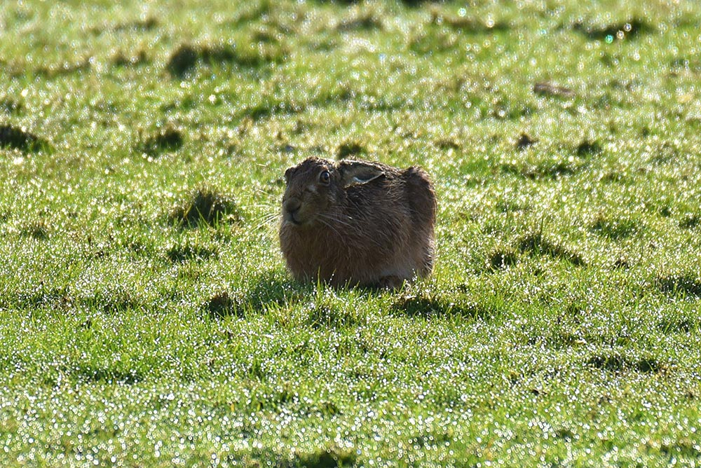 Picture of a Hare with its ears down sitting in the sun on a field still wet with recent rain