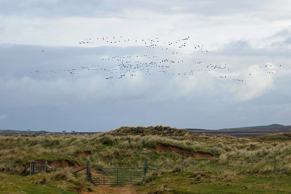 Picture of a flock of Barnacle Geese flying over dunes, a gate in the foreground