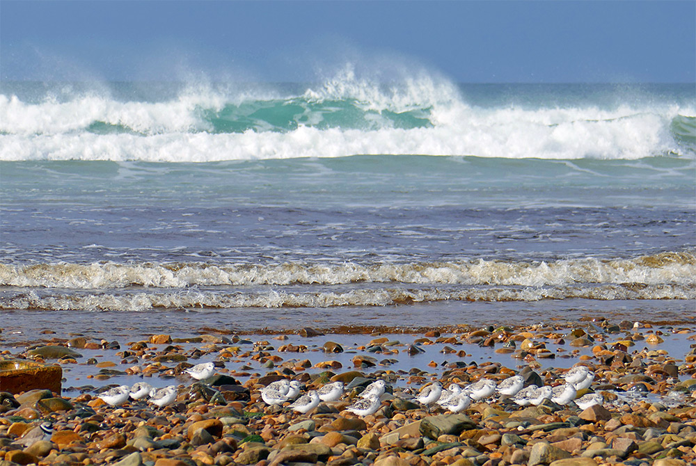 Picture of Sanderlings on a pebbled shore, waves breaking in the background