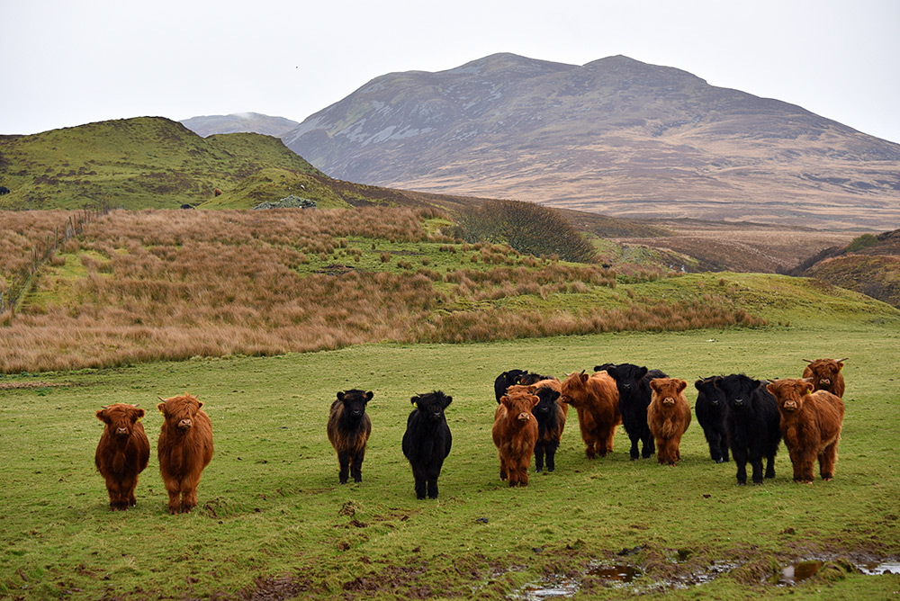 Picture of a herd of young Highland Cattle in a field