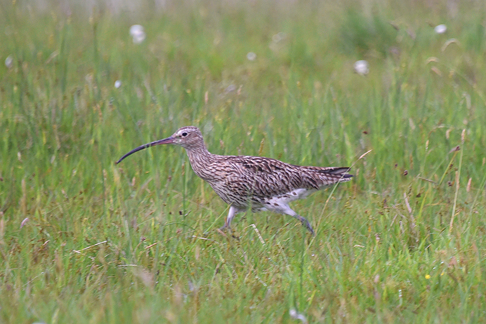 Picture of a Curlew running through high grass