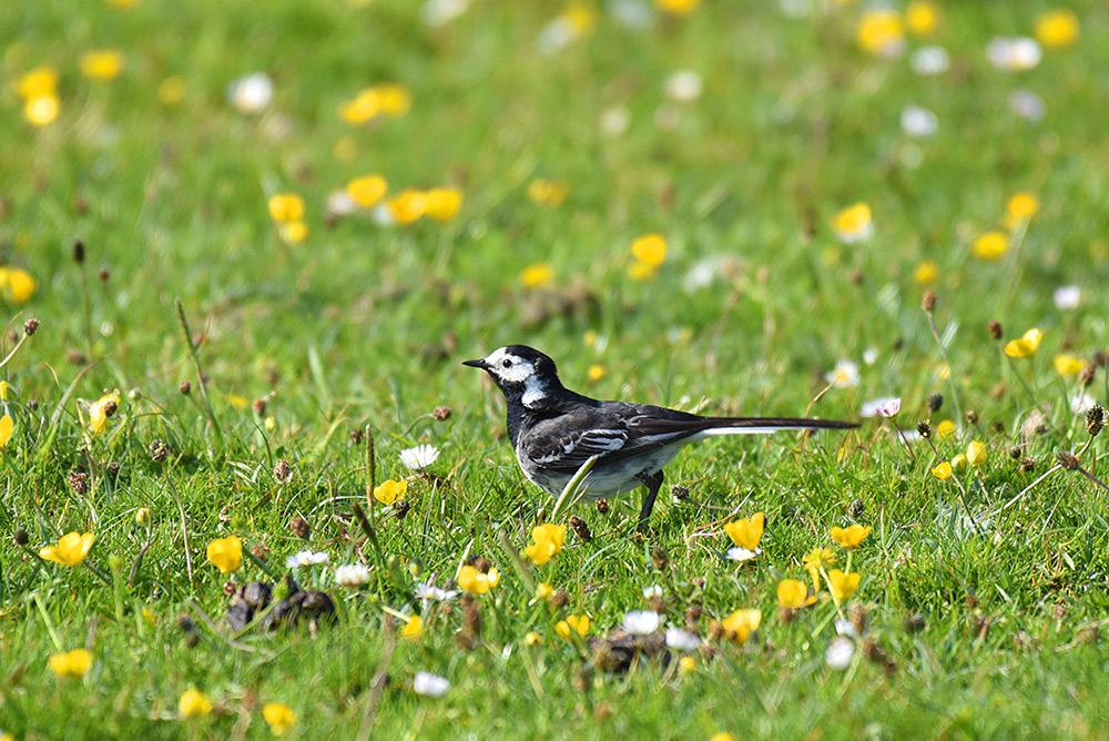 Picture of a Pied Wagtail on a colourful machair
