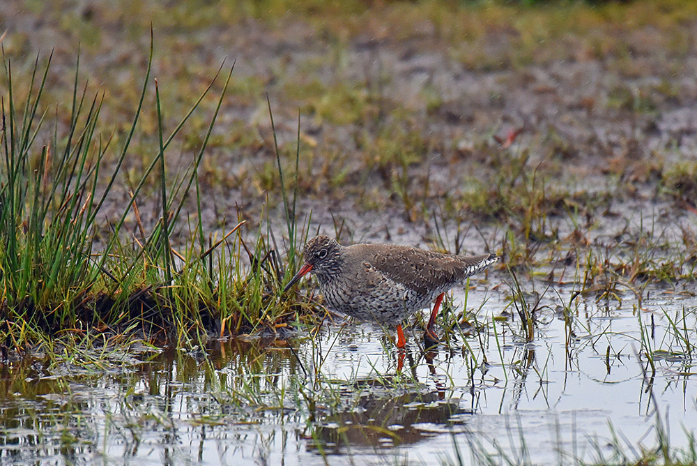 Picture of a Redshank wading through muddy ground