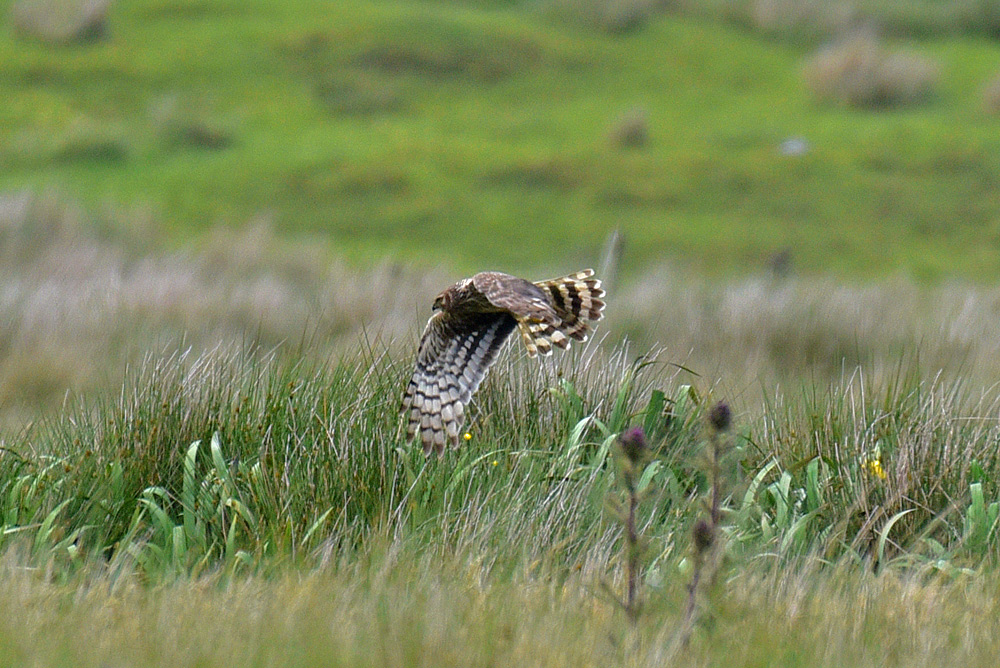 Picture of a female Hen Harrier flying very low over high grass