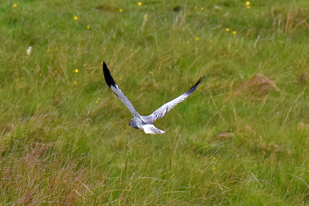 Picture of a low flying male Hen Harrier seen from behind