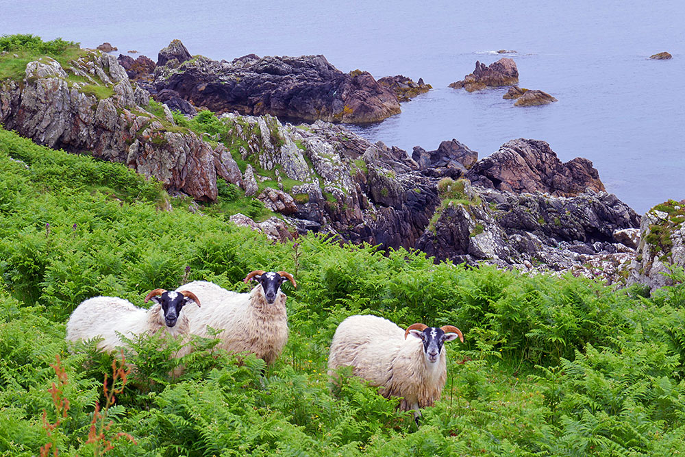 Picture of three sheep near a rocky shore