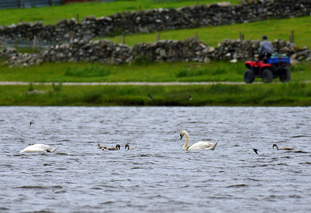 Picture of a view across a loch (lake) with two Mute Swans and their cygnets, a few Sand Martins flying past