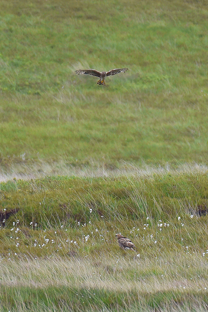 Picture of two Hen Harriers, one in flight above the other one sitting on the ground