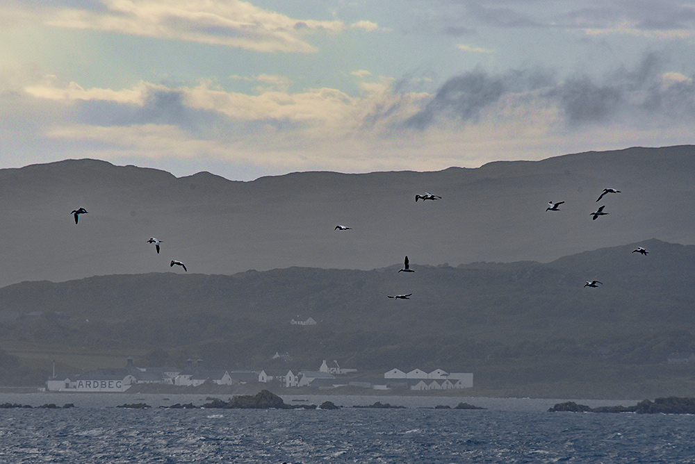Picture of Gannets flying past a coastal distillery
