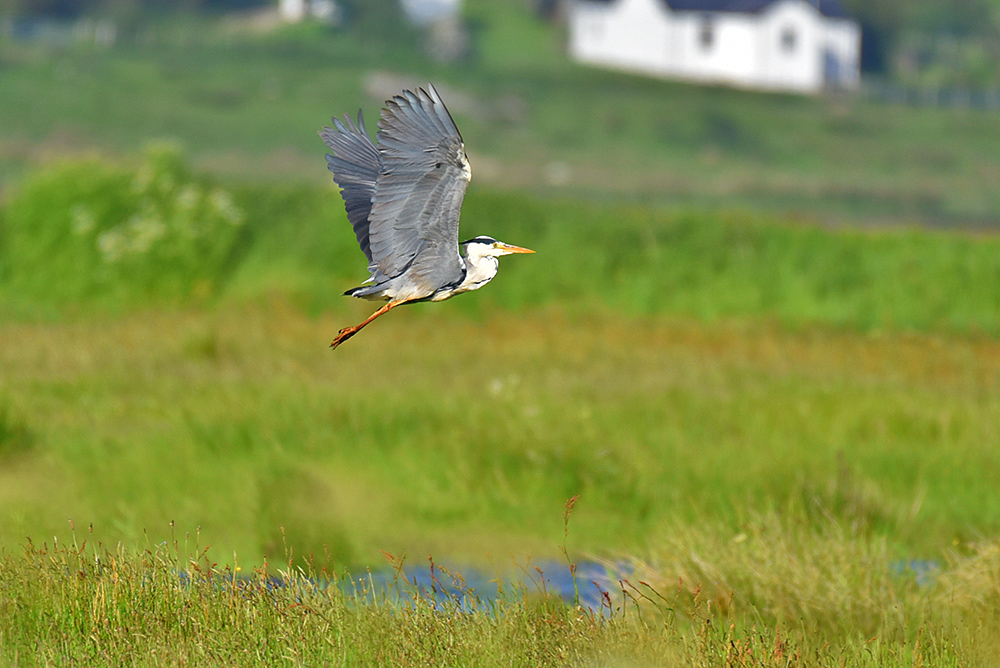 Picture of a Heron flying off a marshland