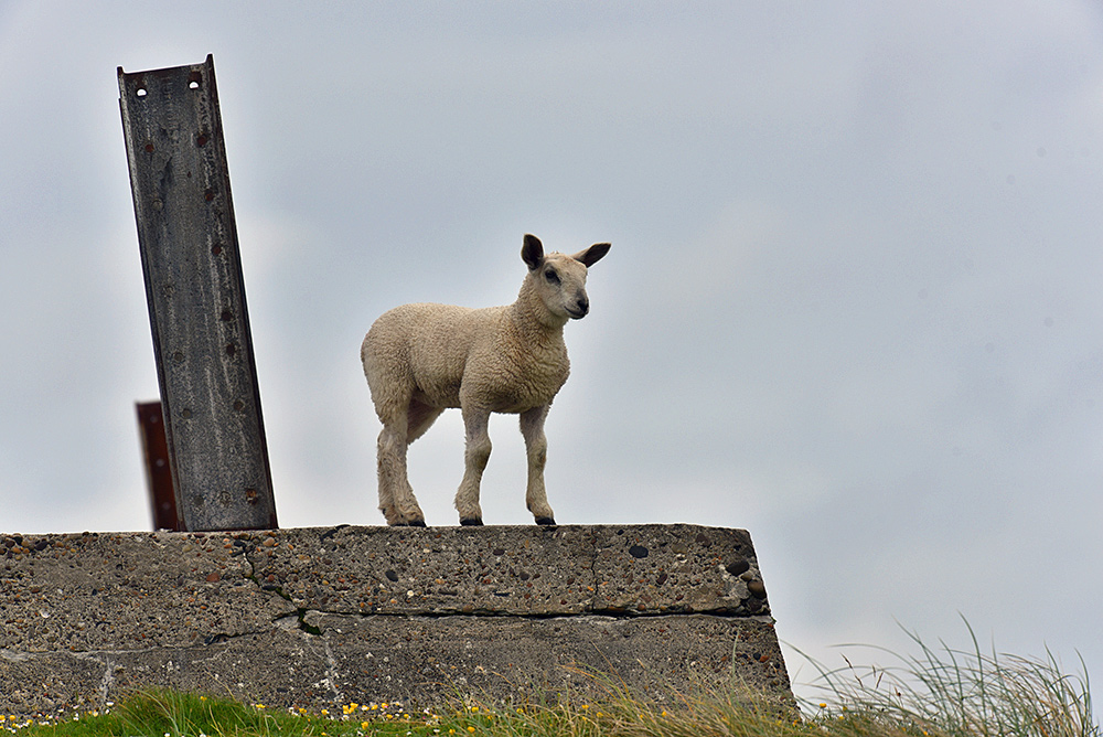 Picture of a lamb on a concrete foundation with a steel girder sticking out