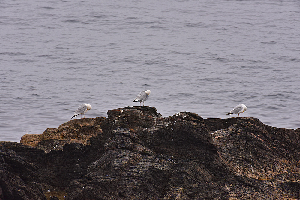 Picture of 3 Gulls preening their feathers while sitting on rocks
