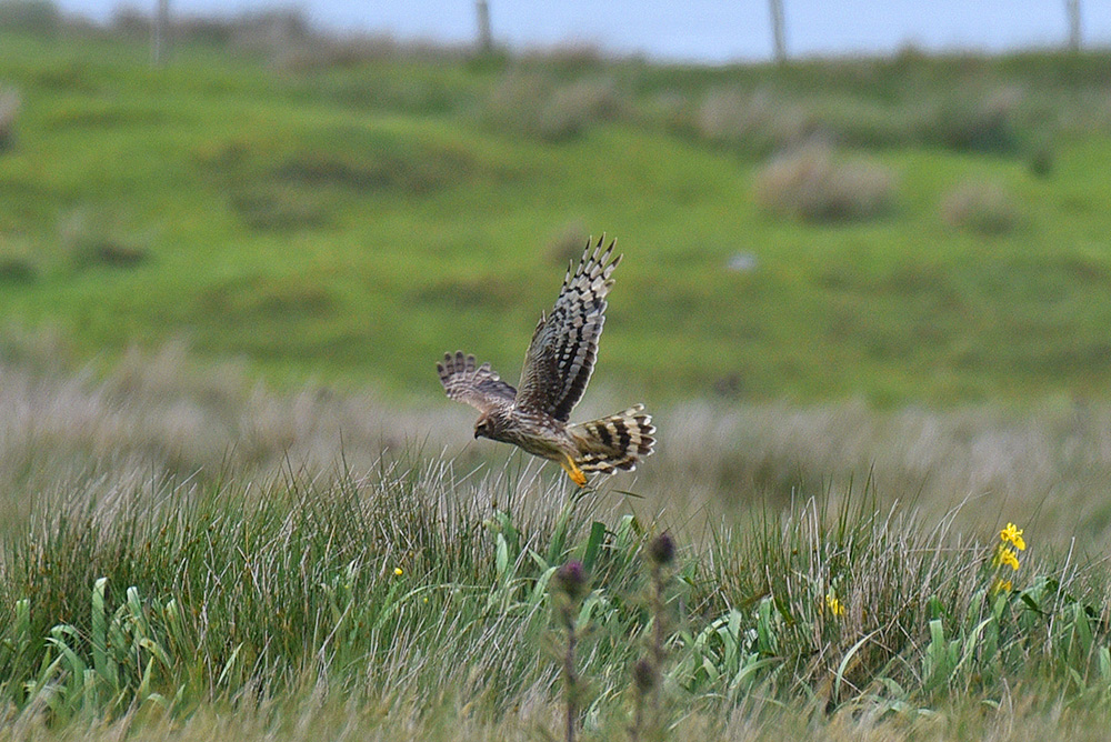 Picture of a Hen Harrier in flight with its wings stretched wide