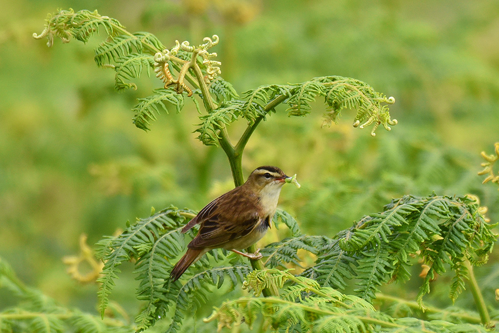 Picture of a Sedge Warbler with food in its beak sitting on some bracken