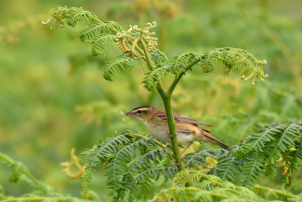 Picture of a Sedge Warbler bird sitting on bracken with some food in its beak